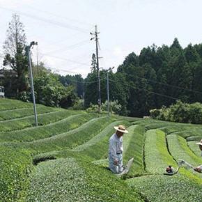 0315茶畑