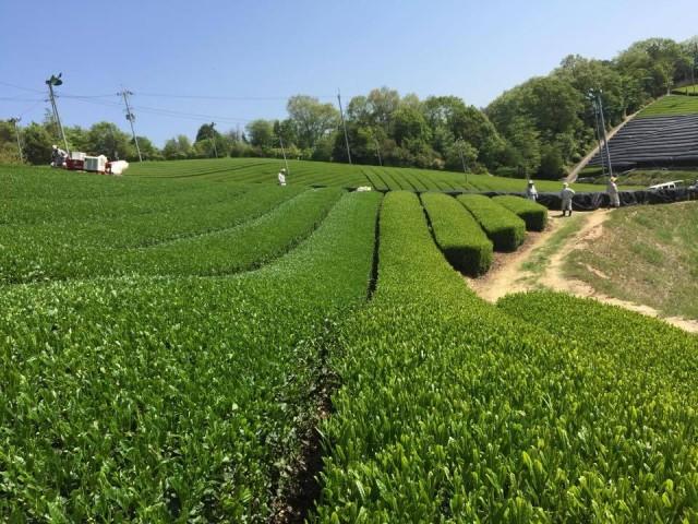 田山南部茶園2