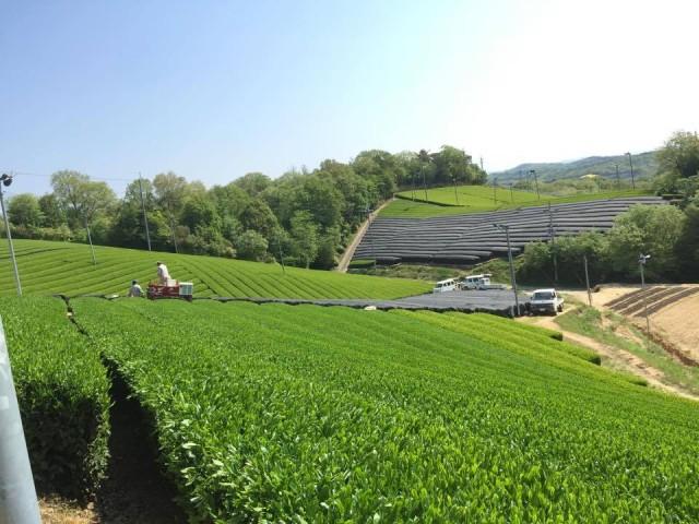 田山南部茶園