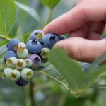 【絶品!】農家さんお勧めのブルーベリーの食べ方【南山城村ブルーベリー】