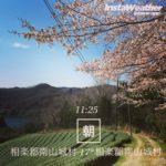 桜抹茶ソフトクリーム始まりました。